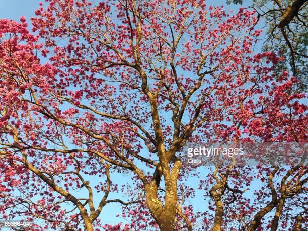 ipê rosa tree - ハンドロアンサス属 ストックフォトと画像