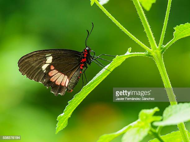 Iphimamas cattleheart butterfly. Parides iphidamus. Tropical butterfly. Pink cattleheart butterfly.