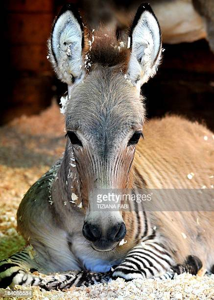 Zebra without stripes real - photo#50