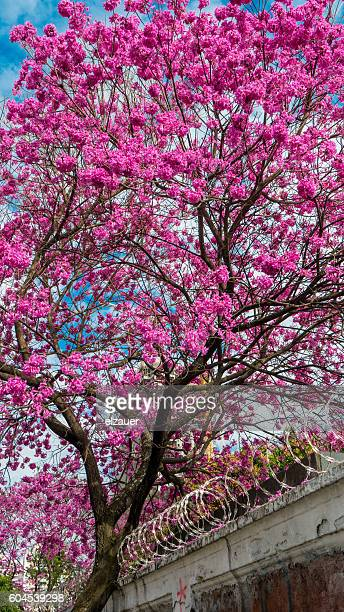 ipê-rosa ( handroanthus heptaphyllus) - handroanthus stock pictures, royalty-free photos & images