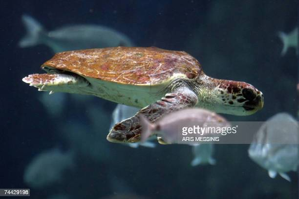 A sea turtle Carretta carreta is pictured in a sea water tank containing sea life of the mediterranean sea at Cretaquarium in the city of Irakleion...