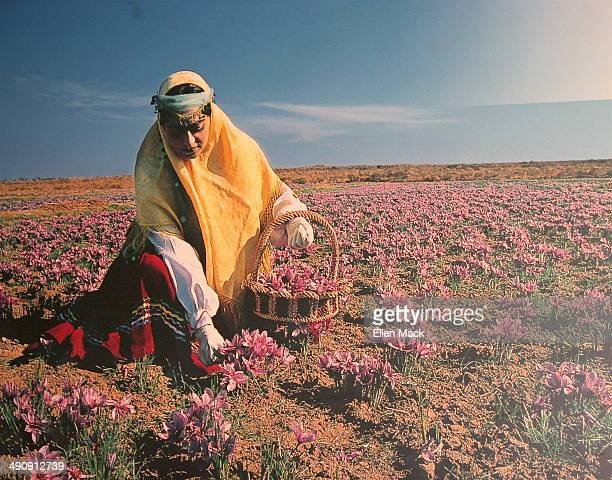 CONTENT] Iran is the principal producer of saffron worldwide This photograph of a poster shows a woman in traditional Iranian dress harvesting the...