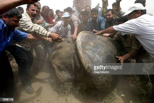 Iraqi men push a head of a statue of Saddam Hussein after its destruction April 18 2003 in Baghdad Iraq