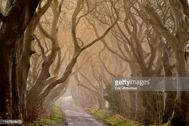 Ireland County Antrim Armoy Early morning mist amidst The Dark Hedges an avenue of beech trees dating from 1775 that have been used as a location in...