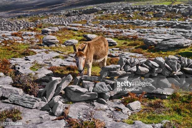 Ireland County Clare The Burren Donkey grazing amidst typical rocky terrain with dry stone wall behind
