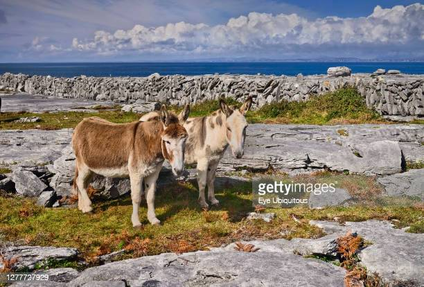 Ireland County Clare The Burren Two donkeys taking it easy amidst typical rocky terrain with dry stone wall and Atlantic Ocean behind