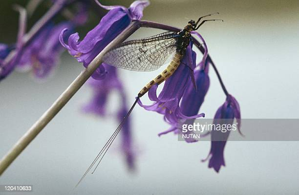 Ireland Female mayfly resting on a bluebell prior to laying her eggs on the water