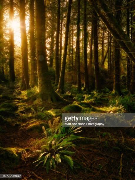 ireland forest #1 - dublin república da irlanda - fotografias e filmes do acervo