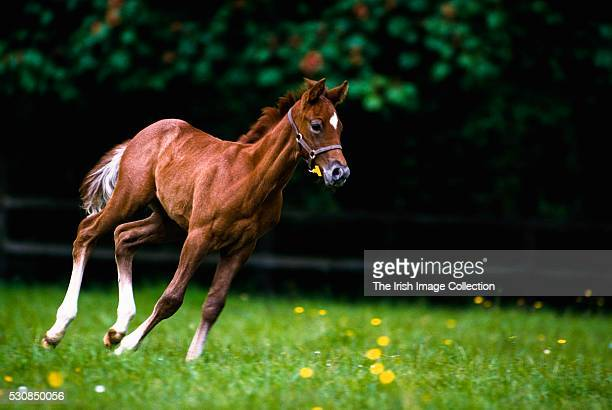 Ireland, Thoroughbred Foal Running