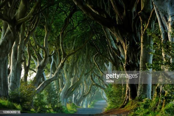 Ireland Ulster County Antrim Ballymoney Dark Hedges