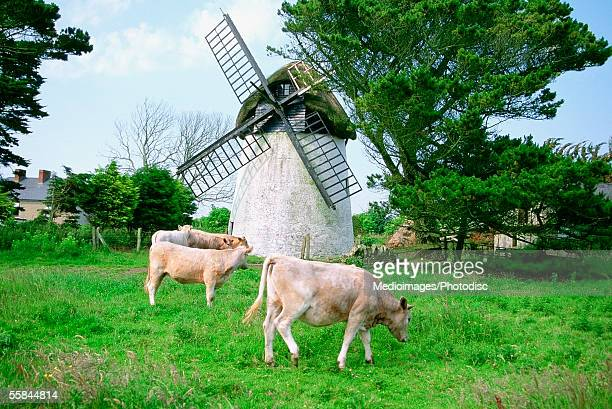 Ireland, Wicklow, Tacumshane, Cows grazing in front of a windmill