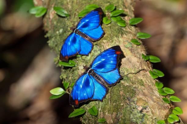 Iridescent blue butterflies (Myscelia orsis), Mata Atlantica, Bahia, Brazil