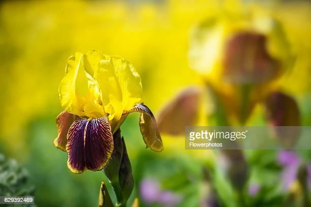 Iris Bearded iris Iris 'Rajah' A single flower showing the yellow upright petals and maroon streaked lower petals