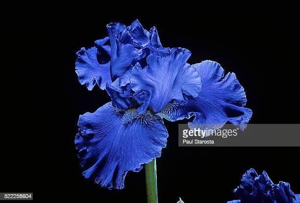 Iris 'Blenheim Royal'