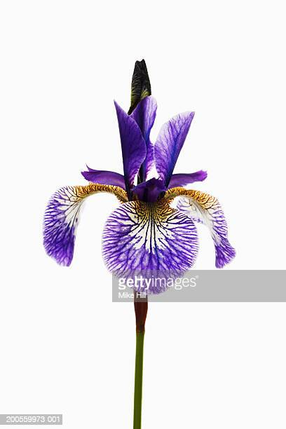 Iris (Iris sibirica) close-up