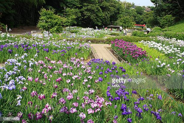 iris flower at kameyama park, kameyama, mie, japan - mie prefecture stock pictures, royalty-free photos & images