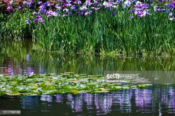 iris flowers - aquatisches lebewesen stock-fotos und bilder