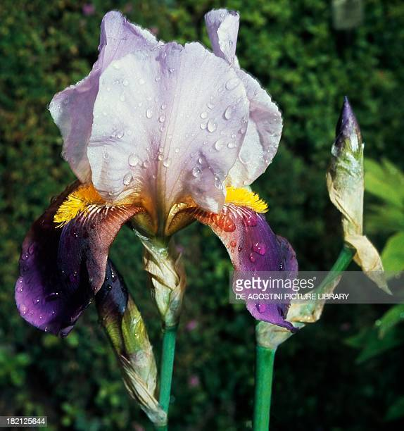 Iris germanica , Iridaceae.