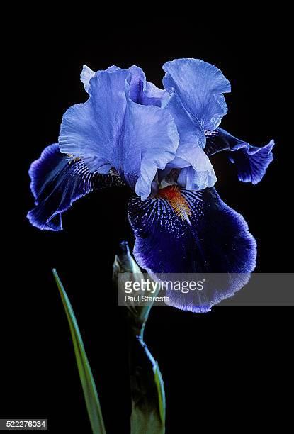 iris 'magic man' - iris photos et images de collection