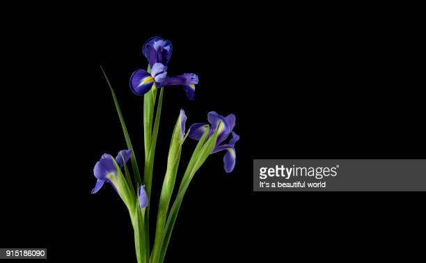 Iris on black background