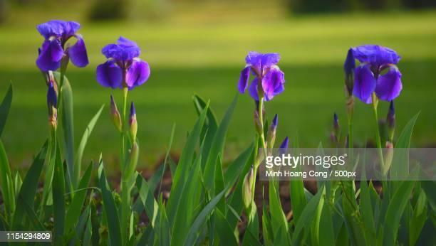 iris - bearded iris stock pictures, royalty-free photos & images