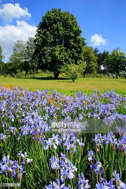 iris (genus iris)