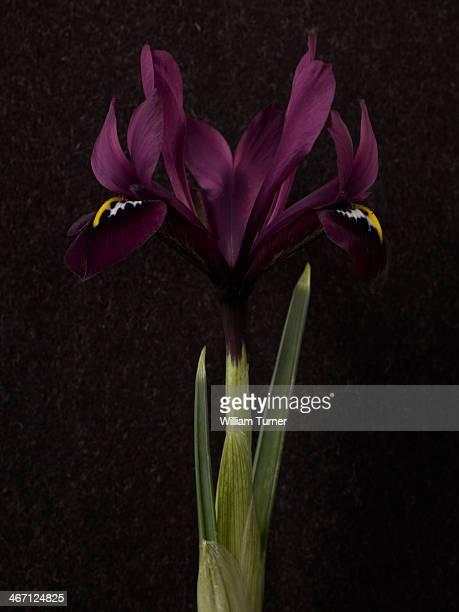 iris plant on black background. - iris photos et images de collection