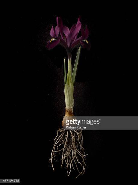 Iris plant on black background, showing bulb.