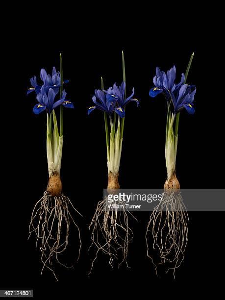 iris plant on black background, showing bulbs.
