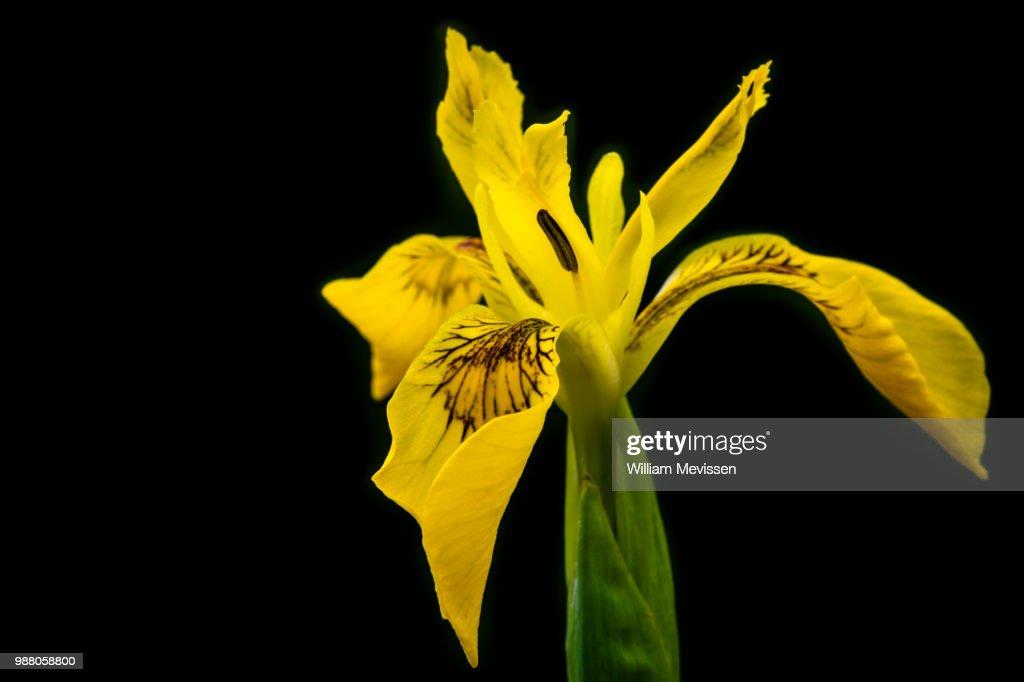 Iris Pseudacorus : Stockfoto