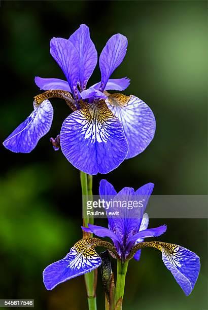 Iris Sibericaa