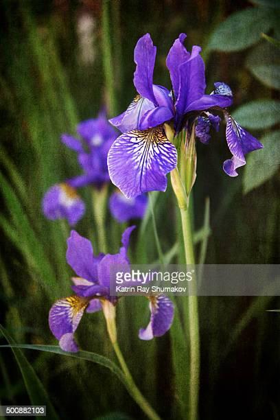 Iris Time in Summer Garden