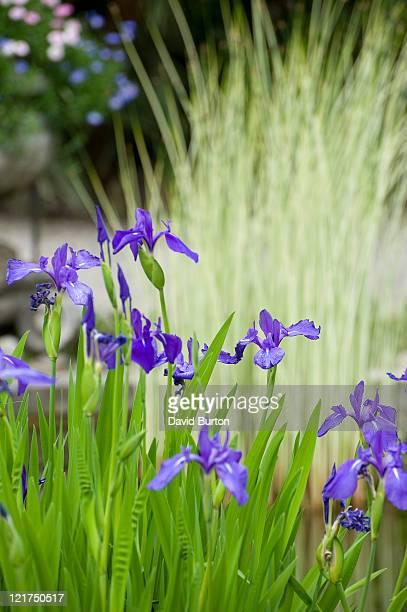 Irises (Iris) at water's edge, May