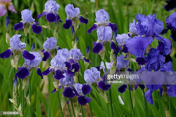 irises in blue - bearded iris stock photos and pictures