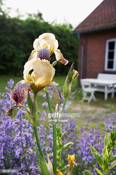 Irises in garden, close-up