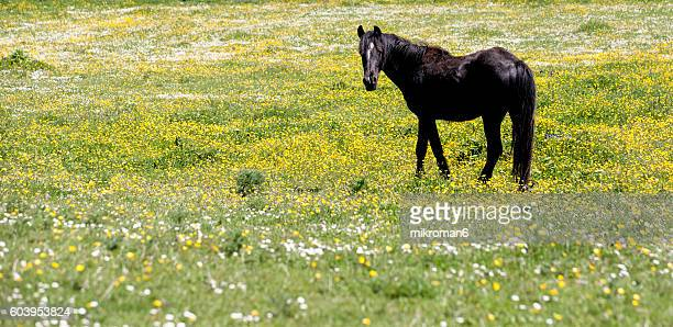 irish black horse on sunny summer day in tipperary fields. - mandria foto e immagini stock