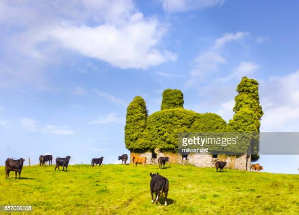 Irish Cows Grazing On Grassy Field next to ancient church in Tipperary, Ireland