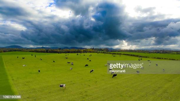 irish cows grazing on grassy field of tipperary, ireland - republic of ireland stock pictures, royalty-free photos & images