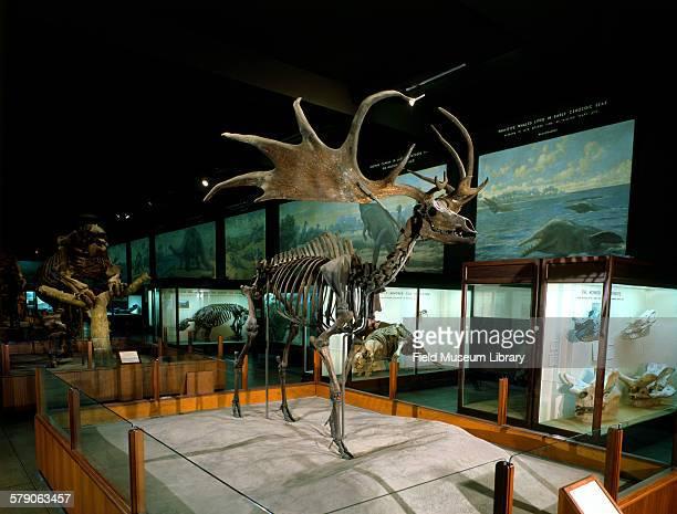 Irish Deer or Elk skeleton displayed in Hall 38 of the Field Museum Chicago Illinois