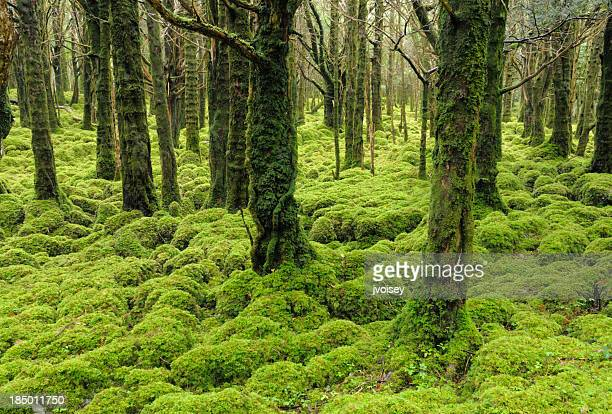irish forest, muckross lake, kilarney - ring of kerry stock photos and pictures