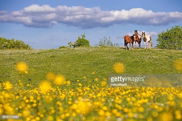 Irish horses on sunny summer day in Tipperary fields.
