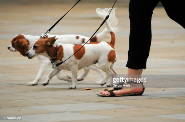 irish jack russell terriers - london breed stock pictures, royalty-free photos & images