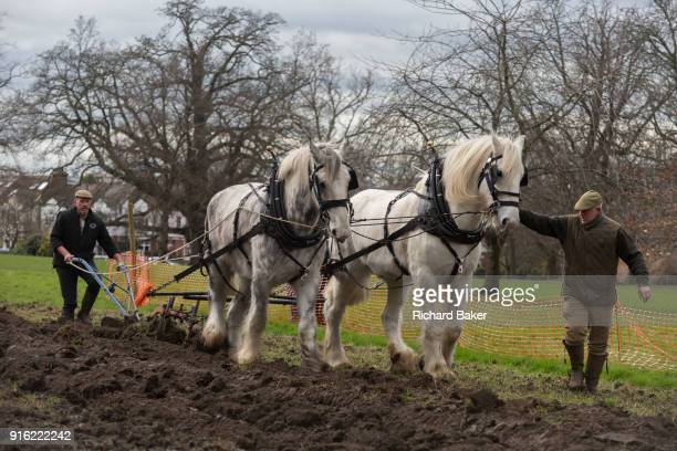 Irish ploughman Tom Nixon leads Shire horses Nobby and Heath as they harrow an ongoing heritage wheatgrowing area in Ruskin Park a public green space...
