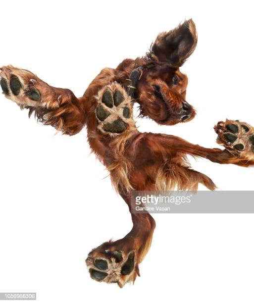 irish setter dog 1 - gandee stock pictures, royalty-free photos & images