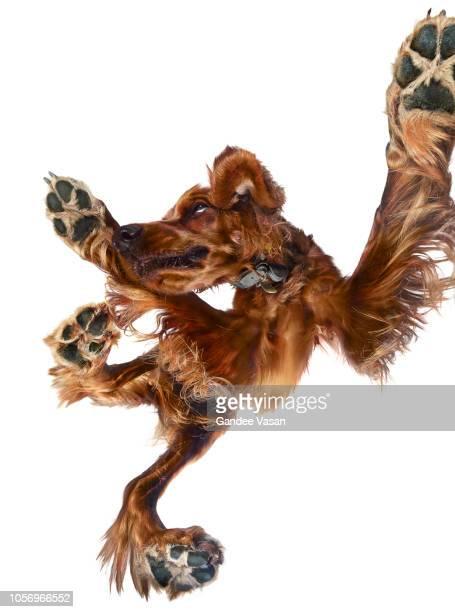 Irish Setter Dog 2