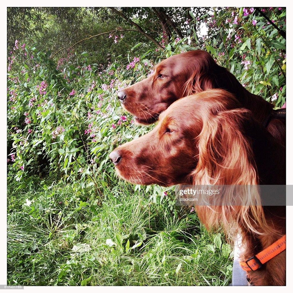 Irish Setter dog couple : Stock Photo