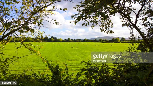 Irish sheep on sunny summer day in Tipperary fields.