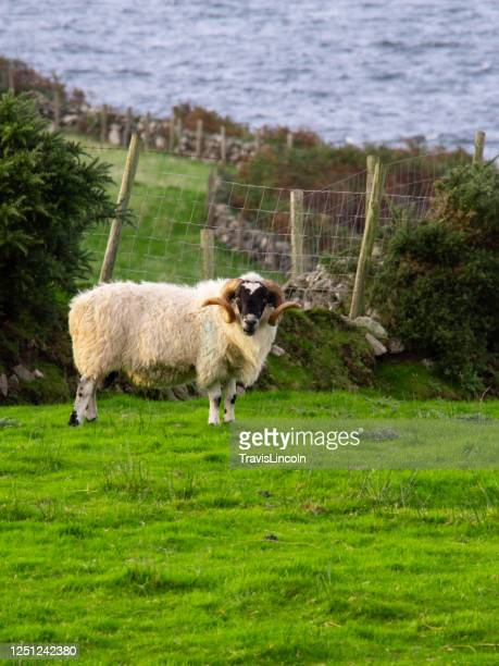 irish sheep on the coast - male animal stock pictures, royalty-free photos & images