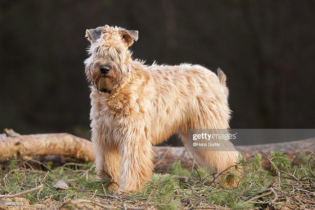 Irish Soft Coated Wheaten Terrier! : Stock Photo