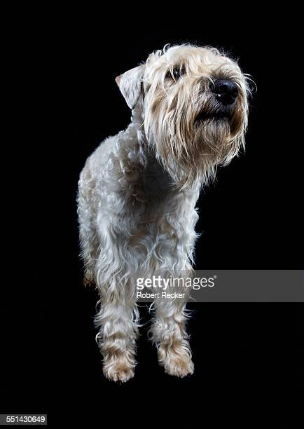irish soft coated wheaten terrier - soft coated wheaten terrier stock photos and pictures